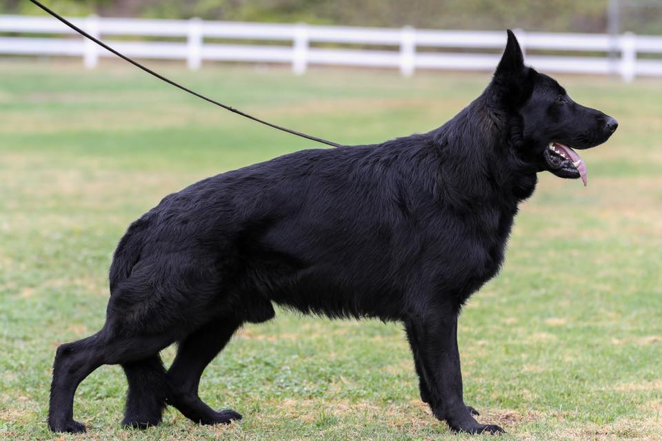 black german shepherd male