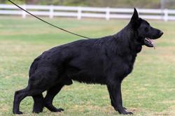 black german shepherd male