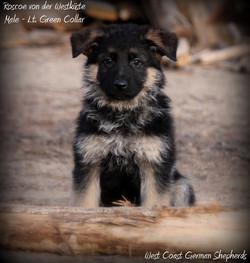 Roscoe -N. Pars chosen puppy