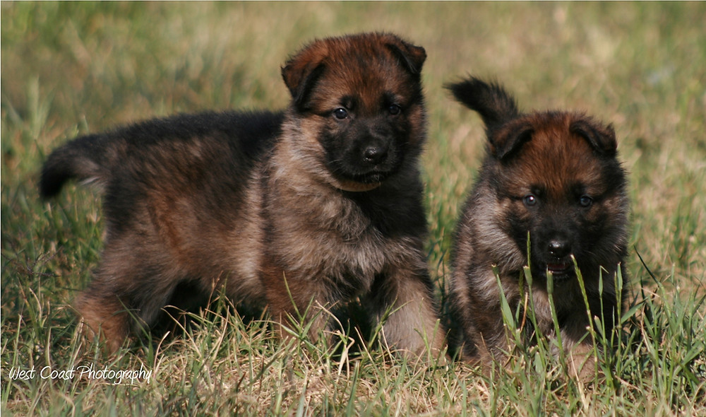 two german shepherd puppies playing