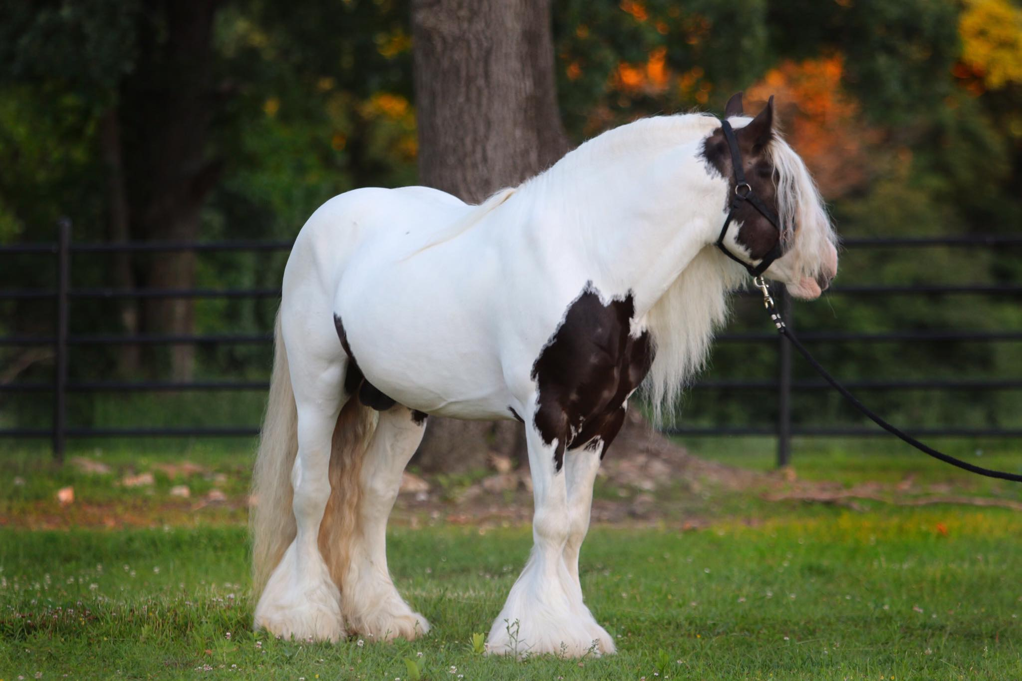 gypsy vanner stallion at stud boss
