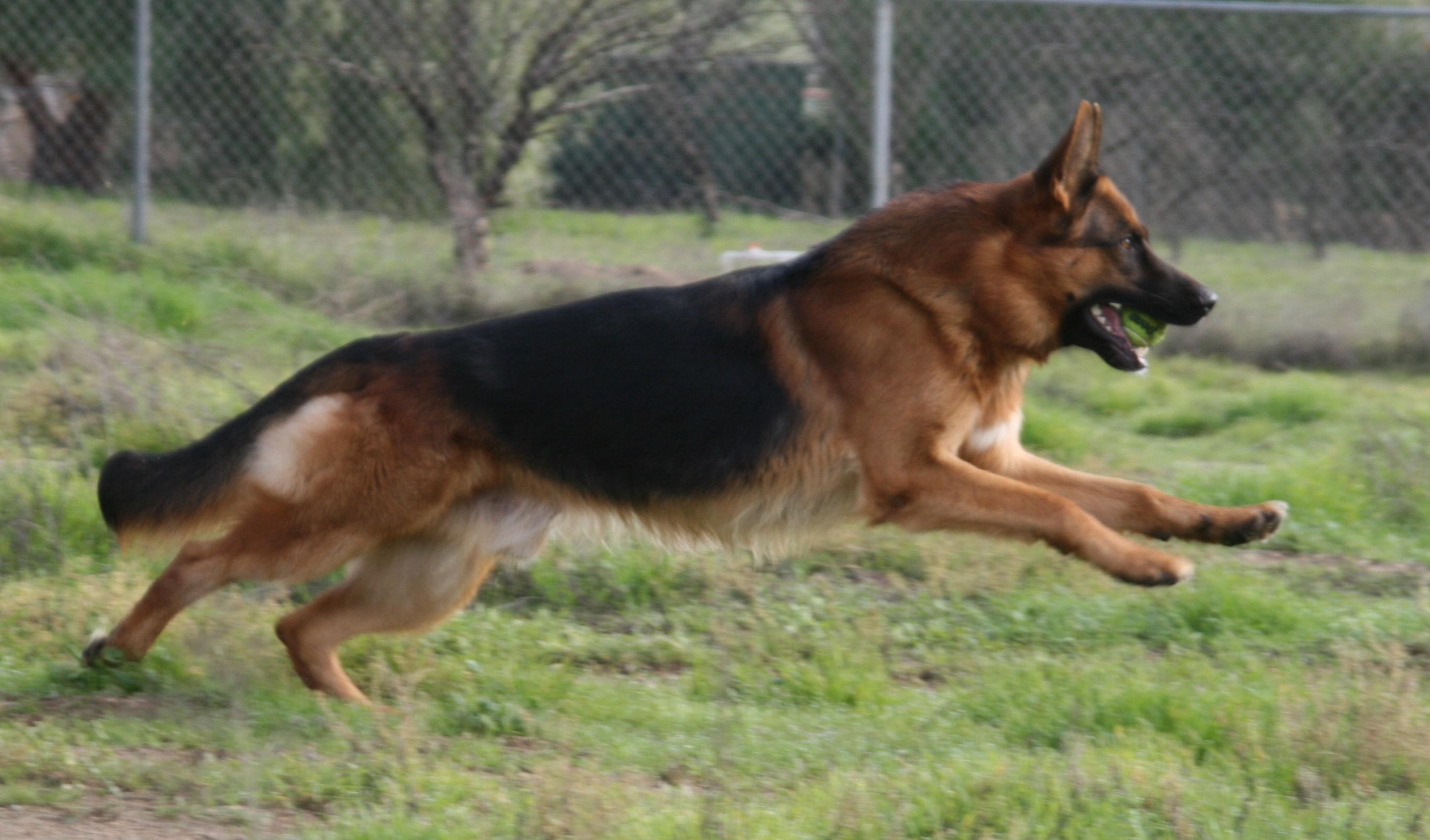 Home | West Coast German Shepherds | United States