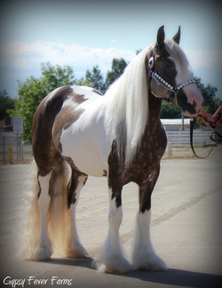 Gypsy vanner show mare