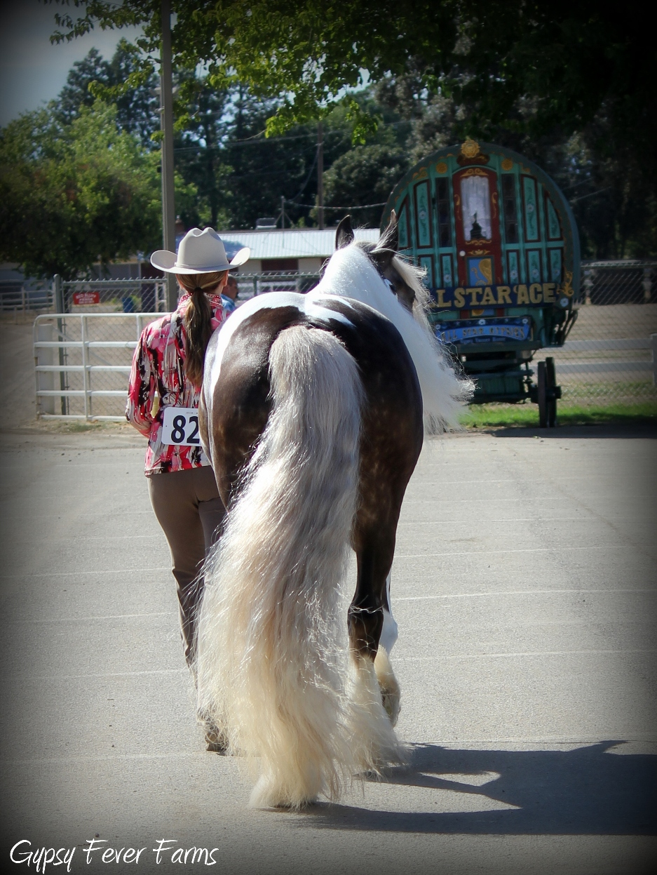 Gypsy vanner show mare
