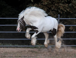 gypsy vanner stallion at stud boss