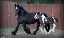 gypsy vanner cob black mare
