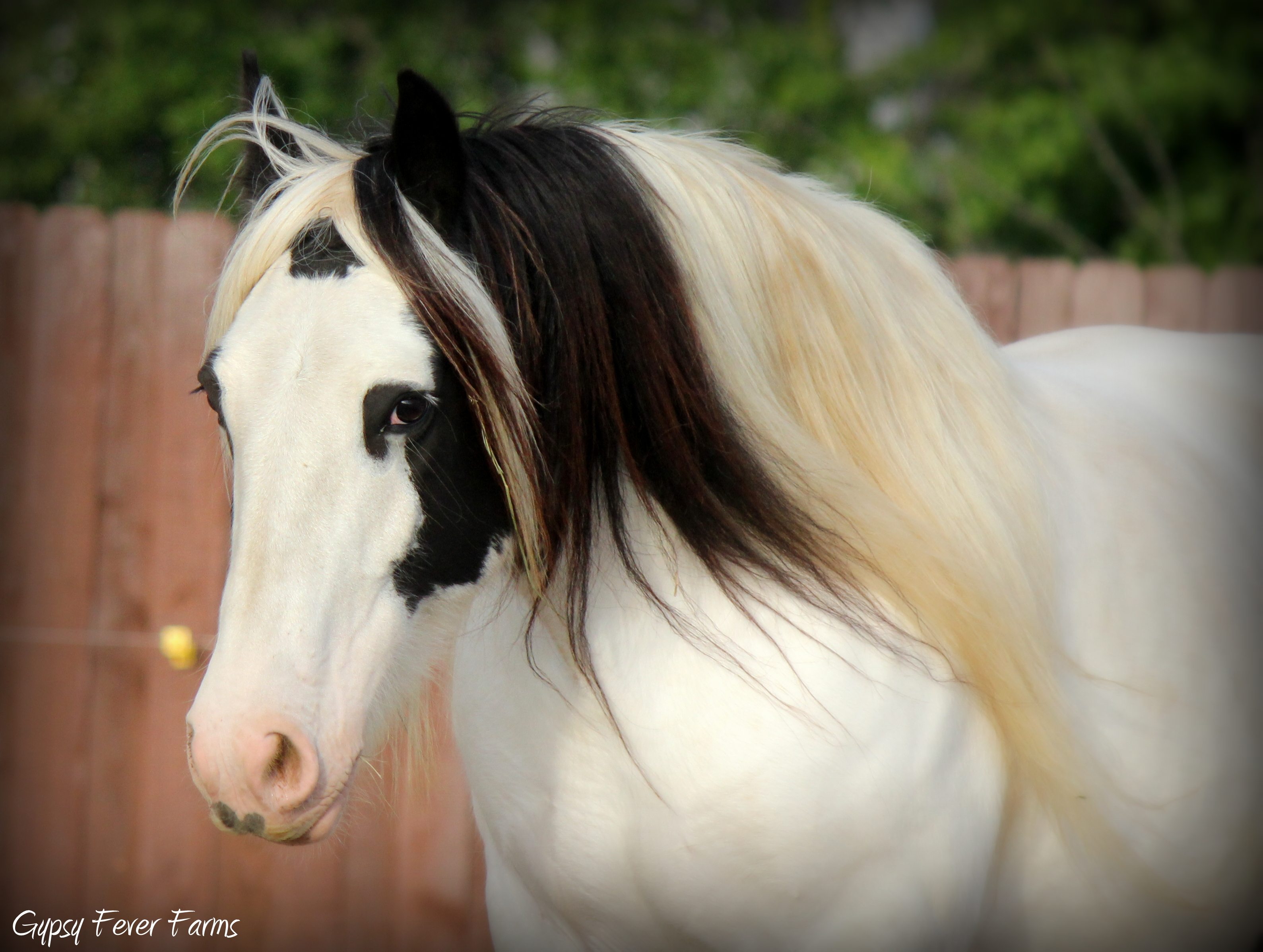 Jennifer of LexLin gypsy vanner mare