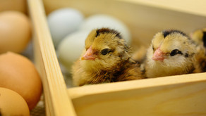 Chick Hatching Projects In Schools