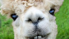 Alpaca Wool - Is It Humane?