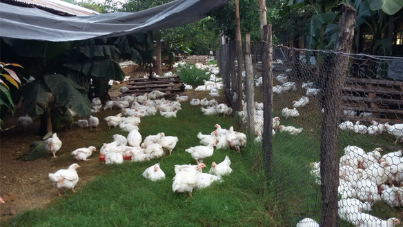 Chicken Farming in Jamaica