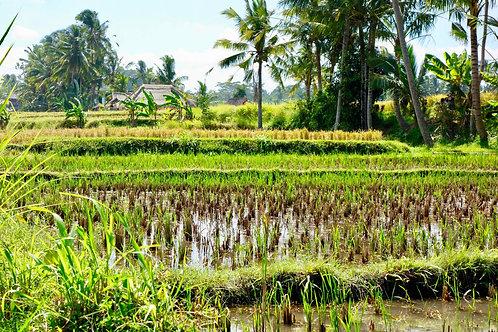 Reisterrassen Bali, Reisterrassen Asien, Reisterrassen Indonesien