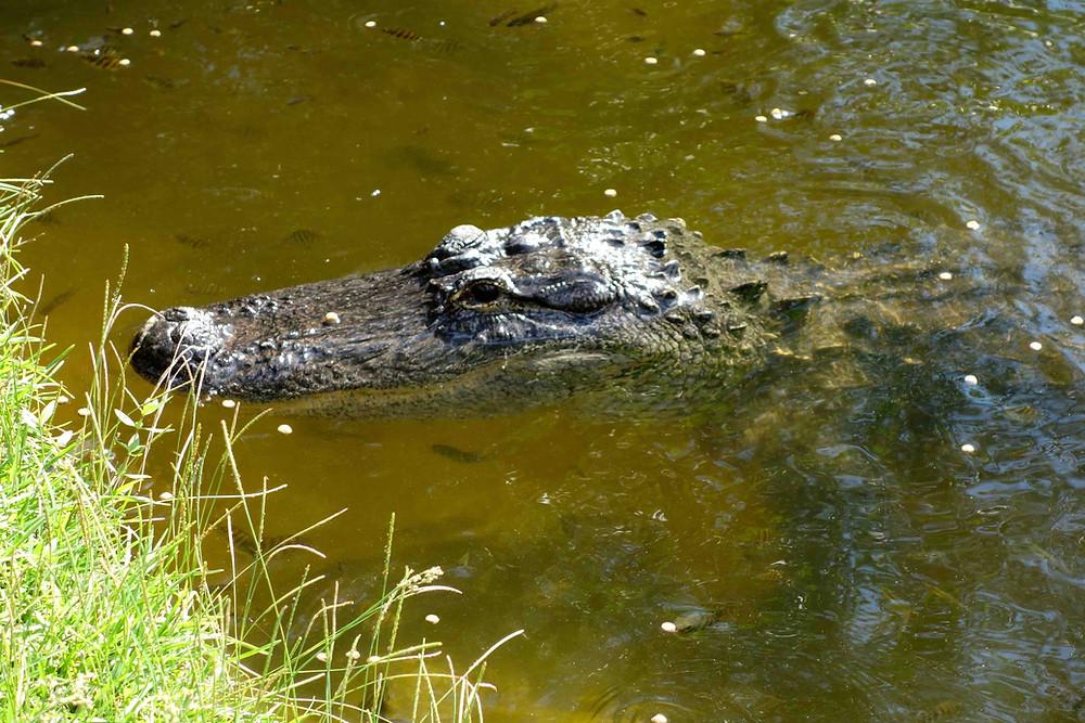 Alligatoren im Everglades Nationalpark