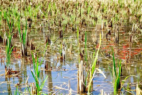 Reisanbau Foto, Reispflanzen im Wasser Foto, Reisanbau Bali