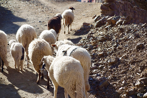 Schafe Marokko, Atlasgebirge Marokko, Atlas Gebirge Schafe