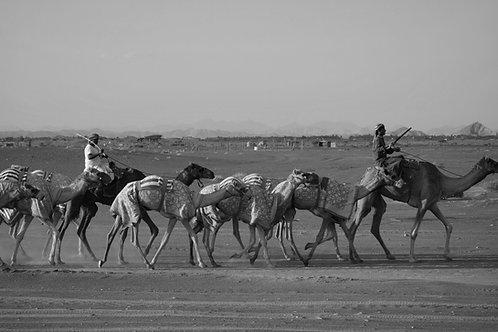 Kamele Arabien, arabischen Kamele, Kamelrennen Oman, Arabische Rennkamele, Schönheitskonkurrenz Kamele