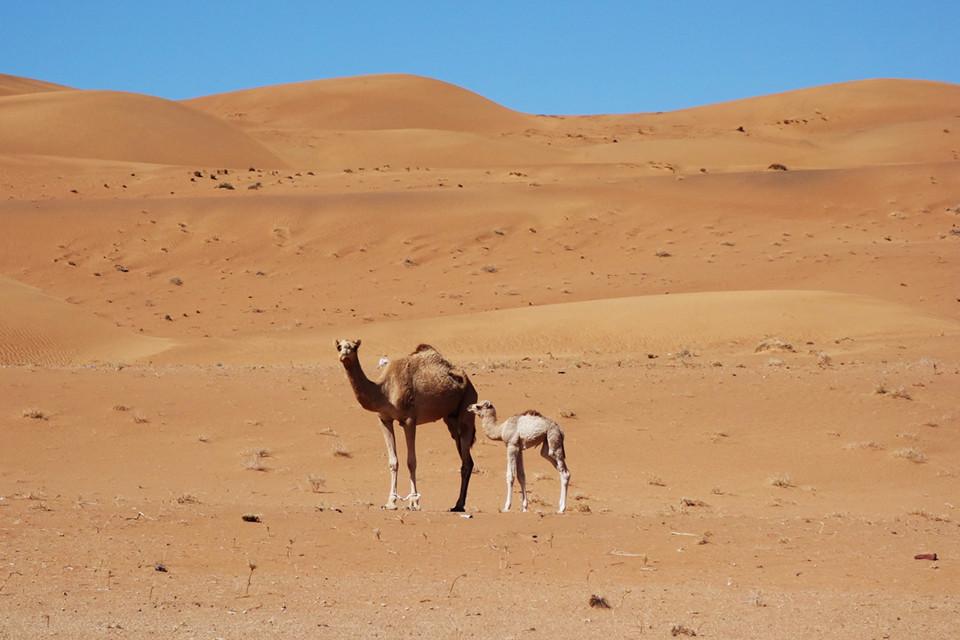 Wüste Wahiba Oman, Wahiba Wüste, Kamele Oman, Rennkamele Oman, Schönheitswettbewerb Kamele, Wettrennen Kamele, teuerstes Kamel Oman