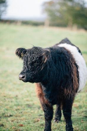 cows-1.jpg