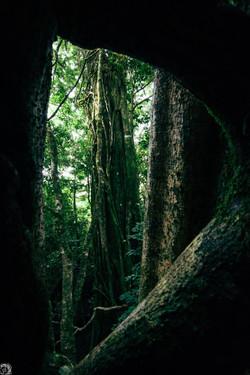 Ficus en Aguti
