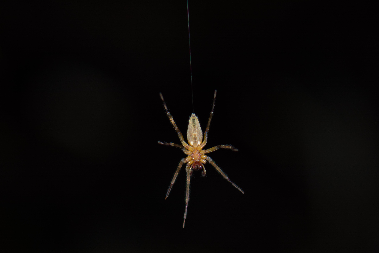 Araña en Aguti