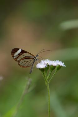 Mariposa de cristal en Aguti