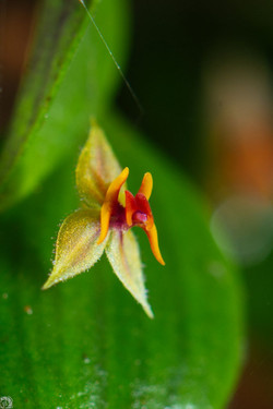 Orquidea en Aguti