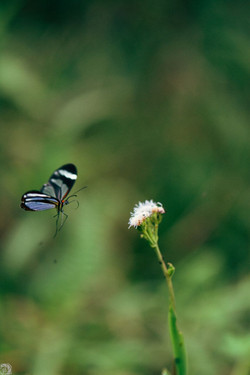 Butterfly at Aguti