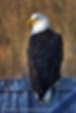 Regal Eagle.jpg