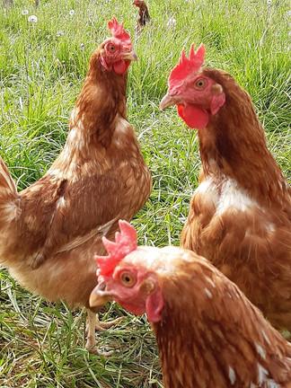 galinhas.jpg