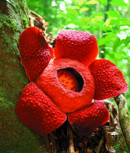 Blooming Rafflesia