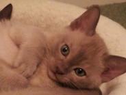 Chocco Bella at 8 weeks(12:11:2011).jpg