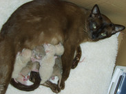 Bella's 4th litter of kittens(1st Septem