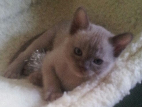 Chocco Bella at 6 weeks old.jpg