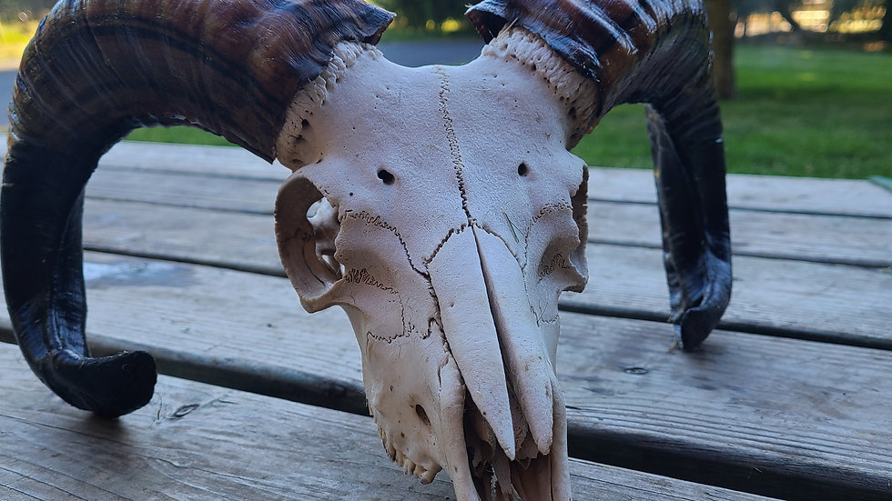 Young Ram Skull, complete