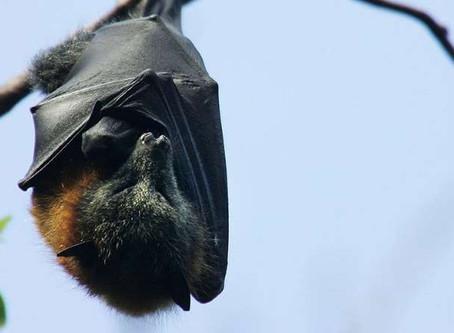 ¿Inmunidad de murciélagos ayudaría contra el virus?