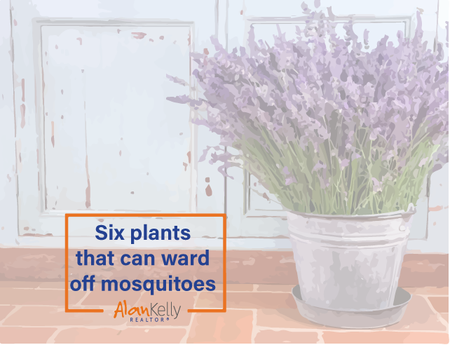 Six plants that can ward off mosquitoes!!!