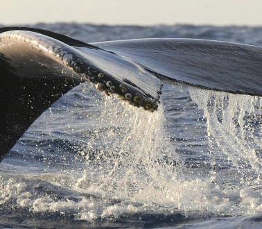 Baleine - Whale