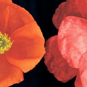 Bloomfield, Dual Poppy Right