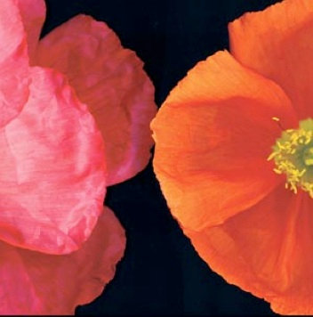 Bloomfield, Dual Poppy Left