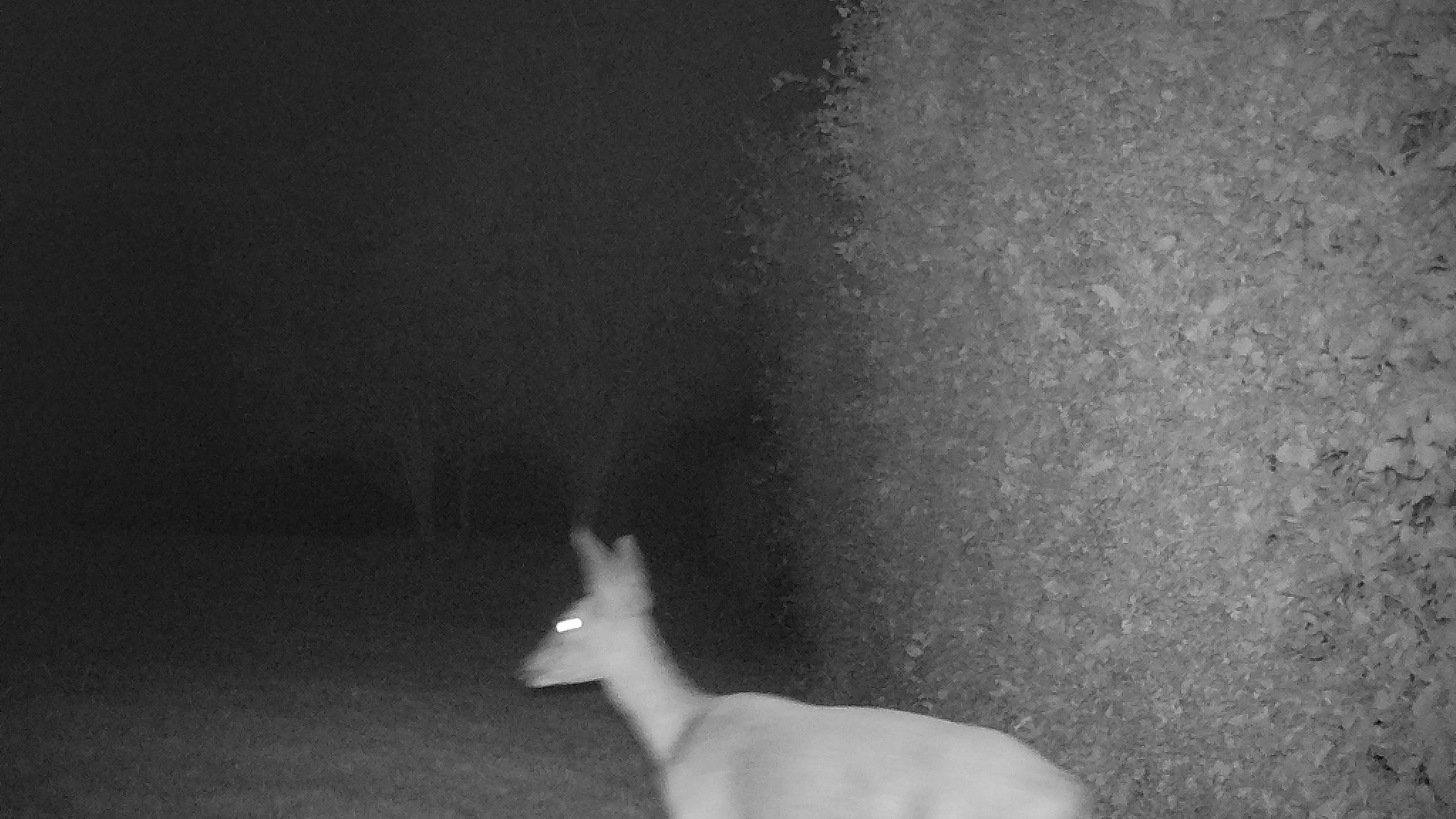 Chevreuil de nuit 1