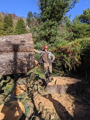 Large cedar dismantle BOA chuffed-min.jp