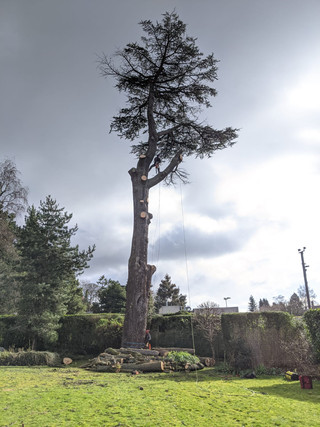 Large Cedar dismantle BOA-min.jpg