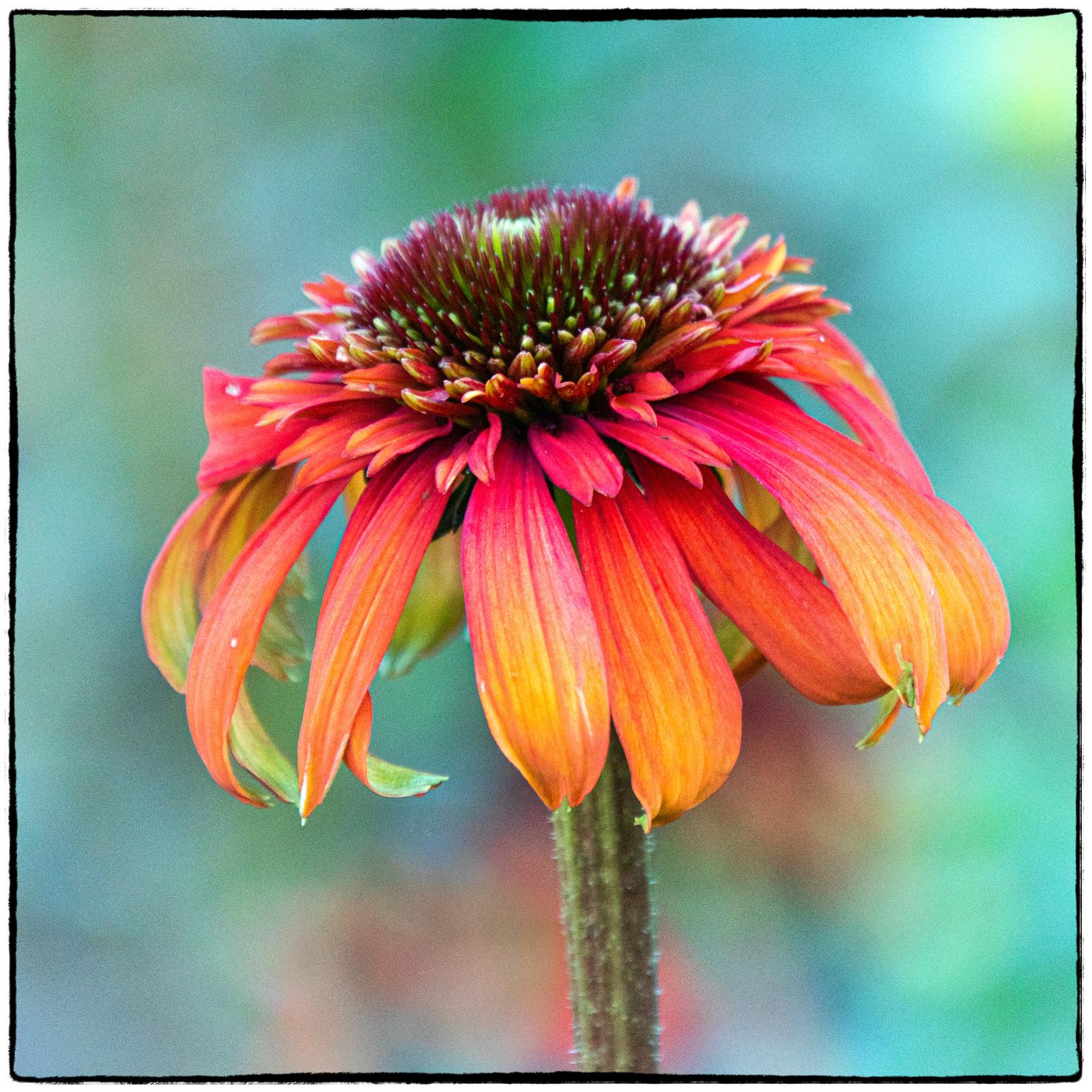 COLOUR - Summer Bloom by Iris Rainey (9 marks)