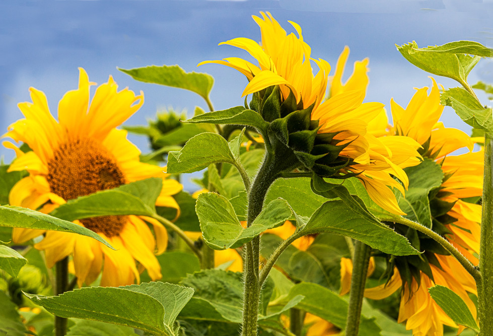 PDI - Sunflower Field by Iris Rainey  (7 marks)