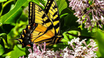 Tiger Sw-tail 2.jpg