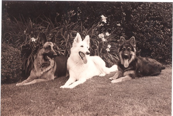 3 GSDs on Edies Lawn