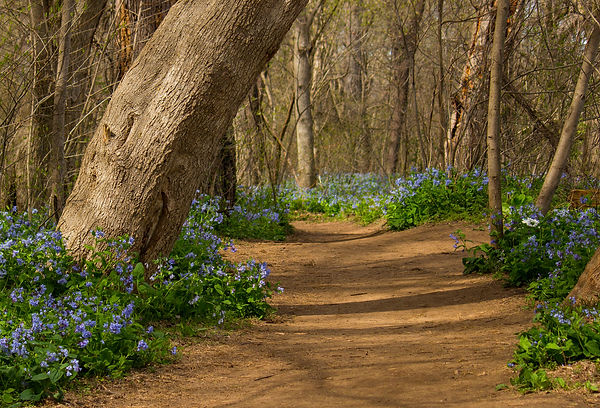 Path to the Bluebells.jpg