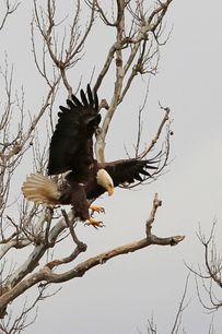 Bald Eagle at Riverbend