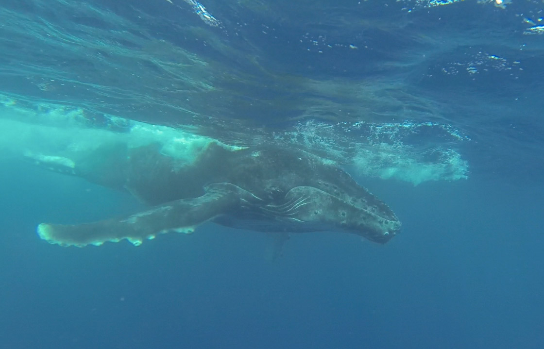 swimming with humpback whales in Moorea