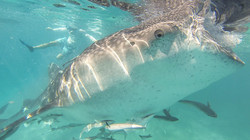 swimming with Whale Sharks around Cebu