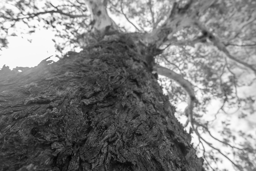 A black and white photograph of a Yellow Box gum (Eucalyptus Melliodora)  tree in Canberra, Australia. Photograph taken by Megan Kennedy.